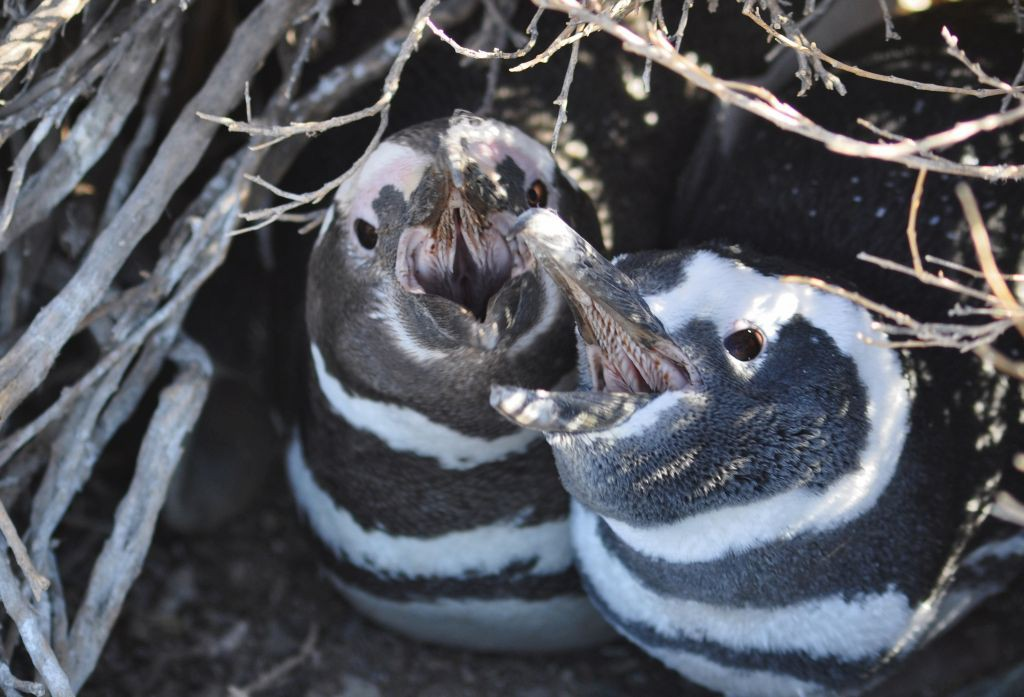 A plausible rumour – are penguins in trouble too? (Spheniscus magellanicus in southern Argentina)