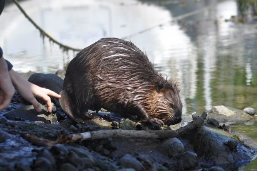 Castor canadensis – a quite small but not at all shy young beaver, which I met with on a summer's day in Tierra del Fuego.